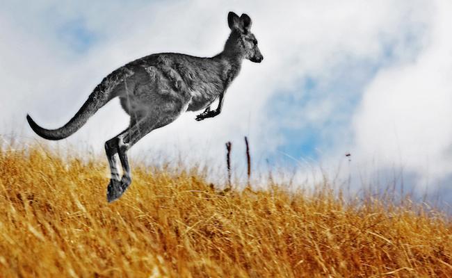 Australian Kangaroo, roaming free in the outback bush